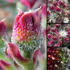 150+ semillas comestibles flor-Mesembryanthemum crystallinum-eiskraut-Seeds