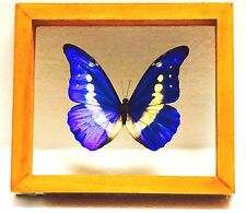 REAL BUTTERFLY, MORPHO RHETENOR HELENA, IN DOUBLE-GLASS WOOD FRAME, PERU