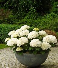 50Pcs Perennial Seeds Home Garden White Hydrangea Seeds Easy to Grow Flower DIY
