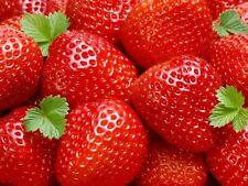 Erdbeerpflanzen 'Ostara' 25 Frigo Pflanzen