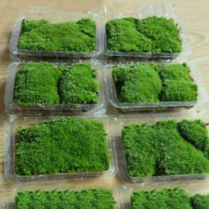 Marimo Moss Ball Growing On Live Aquarium Grass Plants Fish Tank Decor