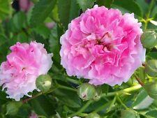 SEVEN SISTERS Old Garden Heirloom Climbing Rambler Rose Bush Plant Double Pink