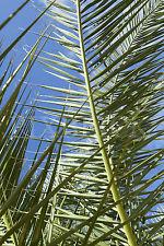 Fensterbild Palmenblatt Palme Milchglasfolie (Sichtschutz) wiederablösbar