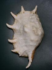 Formosa/shells/Lambis truncata 272.5mm.Rare color