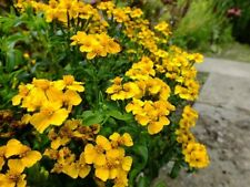 MEXICAN MINT-TAGETES LUCIDA (150 SEEDS) Perennial Herb