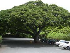 6 Graines - Arbre à pluie - Bois noir d'Haïti - SAMANEA SAMAN - Rain Tree Seeds