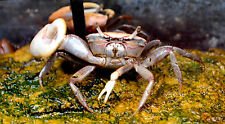 "Live Freshwater Invertebrate - 2"" Fiddler Crab  - Exotic Predatory Mini Crab"