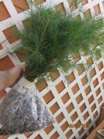 QTY-1 MOUNTAIN GROWN SHIPS FREE !GEORGIA WHITE PINE 30 INCH SEEDLING REF.#SH