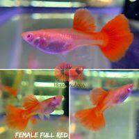 Female  - Full Red BDS Halfmoon - Live Aquatic Guppy Fish Quality Top Grade A+++