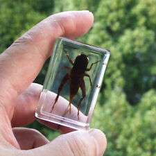 1pcs Insect Specimen in clear Resin Paperweight beetle Specimen KC-11-27