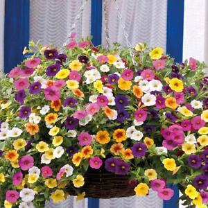 3 x Million Bells Calibrachoa Plants, Beautiful for Hanging Baskets & Patio Pots