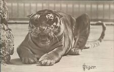 Postcard Tiger Lay Down Growling Real photo Valentines series Posted 1918