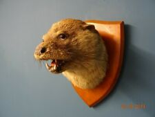 More details for antique european otter head mounted by l. w. bartlett and sons - banbury
