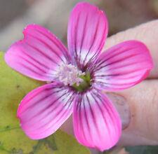Malva assurgentiflora | Lavatera | Island Tree Mallow | 10_Seeds