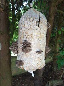 Liquid mycelium mushroom culture spore Grey / Blue Oyster seeds for gardening
