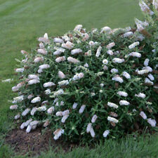 3 Plants Buddleia Little Angel Starter Butterfly Bush Perennials