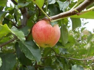 Mauls Communis Apple Trees Wild (1 Plant vq9-9x9x20)