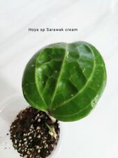 Hoya sp Sarawak cream plant, waxplant, cutting with leaf - rooted