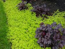 Lysimachia/Golden Creeping Jenny groundcover trailing plant sun FREE POSTAGE