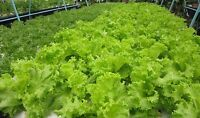 100% Original 2,700 Thai Green Lettuce Seeds Vegetable Seeds Ship from thailand.