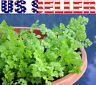 200+ ORGANICALLY GROWN Chervil French Parsley Seeds Herb Heirloom NON-GMO USA!