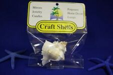 sea shell 1 Murex Virgineus  in a pack for craft  or aquarium very nice <><