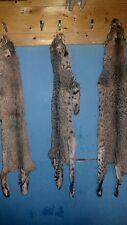 1 Tanned Bobcat Fur hide Pelt real animal skin taxidermy rug piece man cave #5
