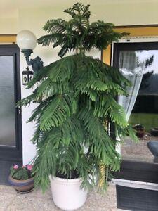 zimmerpflanzen groß Zimmertanne