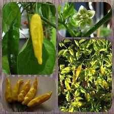 Lemon Drop Gelber Chilli aus Peru fruchtiger Chili Aji Lemon Capsicum baccatum