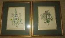 2 FRAMED FLOWER POSTERS SAXIFRAGA CRASSIFOLA AND MEADOW SAXIFRIGE CM350