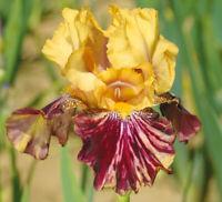 "Ziggy Iris Plant 4"" Pot | Fragrant Reblooming Yellow Burgundy Flowers Perennial"