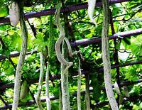 Melon Long Seeds Trichosanthes Serpent Gourd Beans Organic 4 Snake Vegetables
