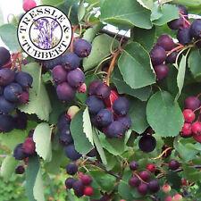 RARE Saskatoon servizio Berry, arbusto E FRUTTA - 5 semi-UK Venditore