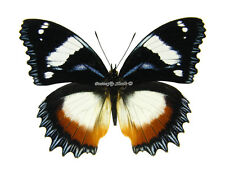 Unmounted Butterfly/Nymphalidae - Hypolimnas dexithea, male, Madagascar