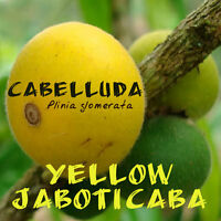 ~CABELLUDA~ Plinia glomerata YELLOW JABOTICABA FRUIT TREE Sml Potd Starter Plant