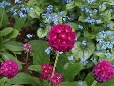 Primula denticulata best blend 20 x Fresh Seed