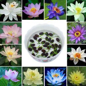 10 x Bonsai Lotus Water Lily Flower Bowl Pond Fresh Seeds Lotus