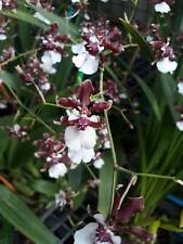 Oncidiun Sharry Baby Orchid Plant Blooming Thailand Cites