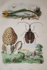 GRAVURE COULEURS MORILLE MORMOLYCE MORMYRE DE SAINSON FRIES 1837 R1507