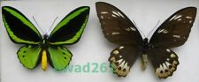 Ornithoptera priamus poseidon Doubleday, 1847 pair Papua New Guinea 136, 158mm2