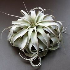 "Air Plant Tillandsia | Xerographica ""Queen of Airplants"" Large 7-8 in"