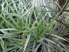 "LIRIOPE MUSCARI - AZTEC GRASS - 6 PLANTS - 2"" POT -  LINERS - ZONE 7 - 11"