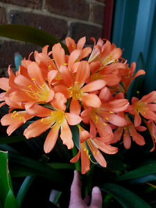 Clivia Seeds - Pastel x QLD Yellow - 6 Seeds
