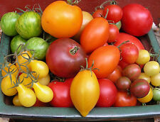 UPDATED You Pick a 6-Pack of Tomato Seeds from our 75 Heirloom + Other Varieties