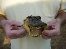 """(G-Def4-27) 6-1/8"""" Deformed Gator ALLIGATOR Aligator HEAD teeth TAXIDERMY weird"""