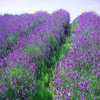 400pcs Lavender English Seeds Organic, Untreated Herb Seeds Home Garden Decor