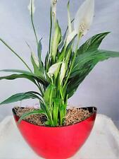 Peace Lily Spathiphyllum Live Plant Pot 9x5'' Inches 5'' Tall Indoor Houseplant
