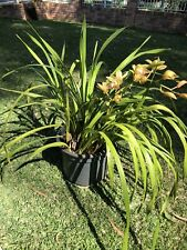 Large cymbidium orchid