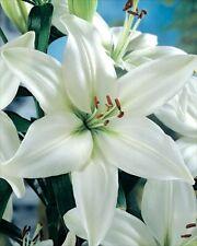 Pack x2 Lilium LA Hybrid Lily 'Ercalano' WPC Prins Bulbs & Tubers