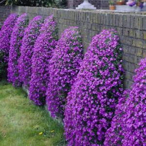 Aubrieta Flower Seeds Climbing Flower Bonsai Plants Home Garden 100Pcs
